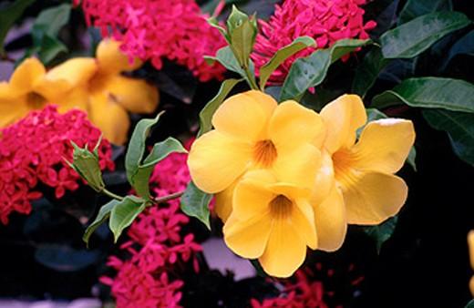 Golden Trumpet, Buttercup Flower or Yellow Bell (Allamanda cathartica). Curaçao. Netherlands Antilles. Caribbean : Stock Photo