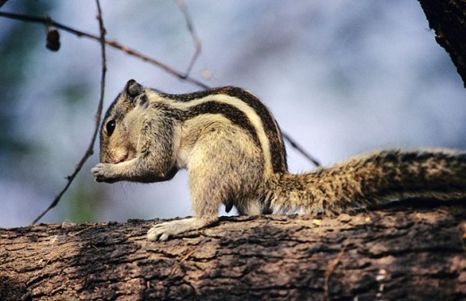 Three Striped Palm Squirrel (Funambulus palmarum) at Keoladev National Park. Bharatpur. Rajasthan. India : Stock Photo