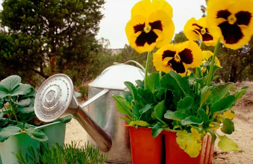 Yellow blotch Pansies (Viola x Wittrockiana) and watering can in garden : Stock Photo