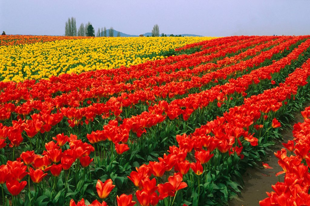 Stock Photo: 1566-0157654 Tulip field, Skagit Valley, Washington, USA