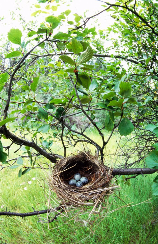Cedar Waxwing (Bombycilla cedrorum), nest and eggs : Stock Photo