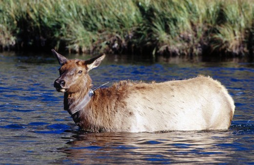 Radio-collared cow elk. Yellowstone National Park, Wyoming. USA : Stock Photo