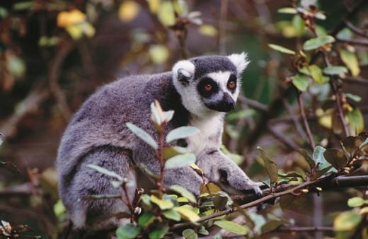 Ringtailed lemur. Endangered species. Madagascar : Stock Photo
