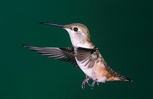 Stock Photo: 1566-0159739 Rufous Humming bird. Female