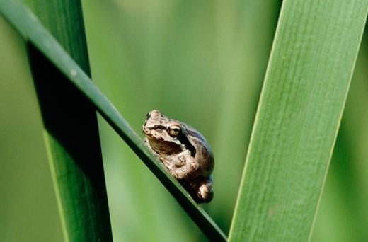 Stock Photo: 1566-0159757 Pacific Tree Frog (Hyla regilla)