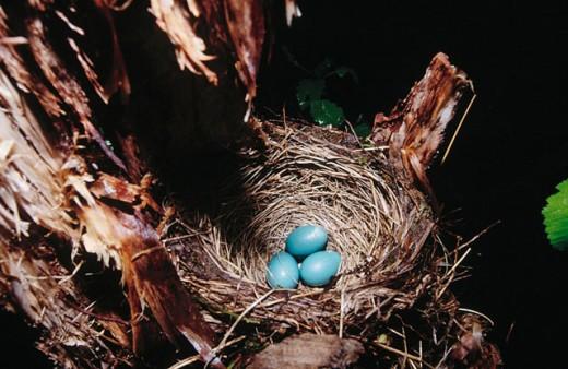Robin´s eggs in nest : Stock Photo