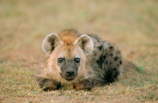 Stock Photo: 1566-0159887 Spotted Hyena (Crocuta crocuta), young. Masai Mara. Kenya