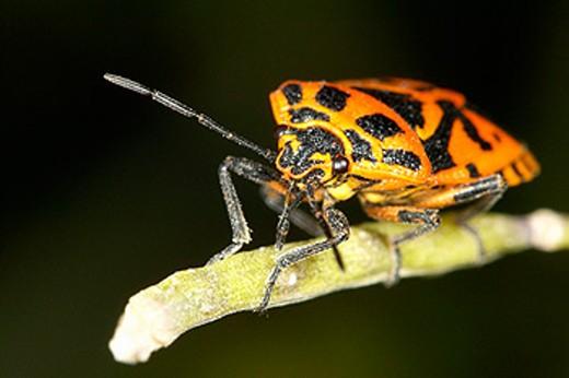 Bedbug (Lygaeus equestris) : Stock Photo