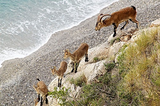 Stock Photo: 1566-0161082 Rock Goats (Capra ibex). Parque Natural Sierras de Tejeda y Almijara. Málaga province. Spain