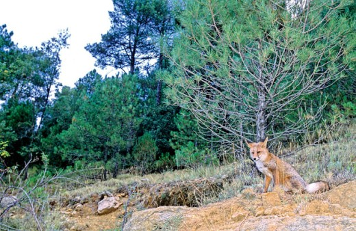 Common fox (vulpes vulpes) : Stock Photo
