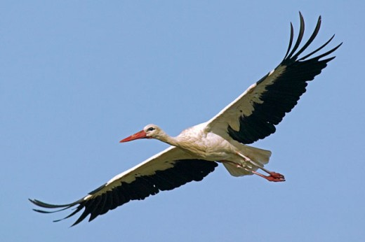 White Stork (Ciconia ciconia) in flight. Spain : Stock Photo