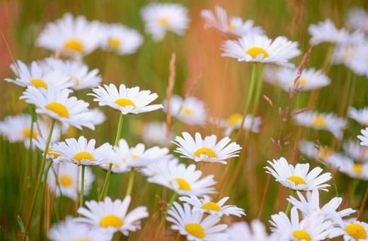 Stock Photo: 1566-0161778 Daisies (Leucanthemum vulgare)