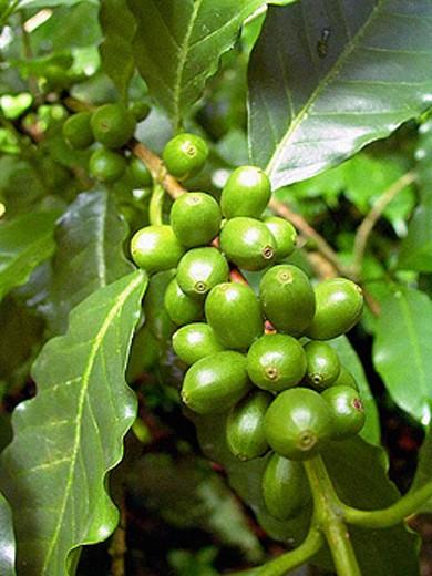 Coffee tree : Stock Photo