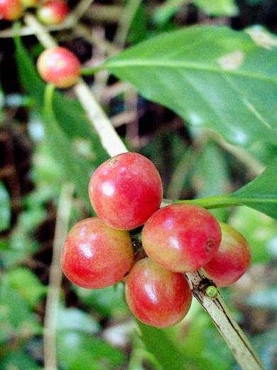 Coffee beans. Venezuela : Stock Photo