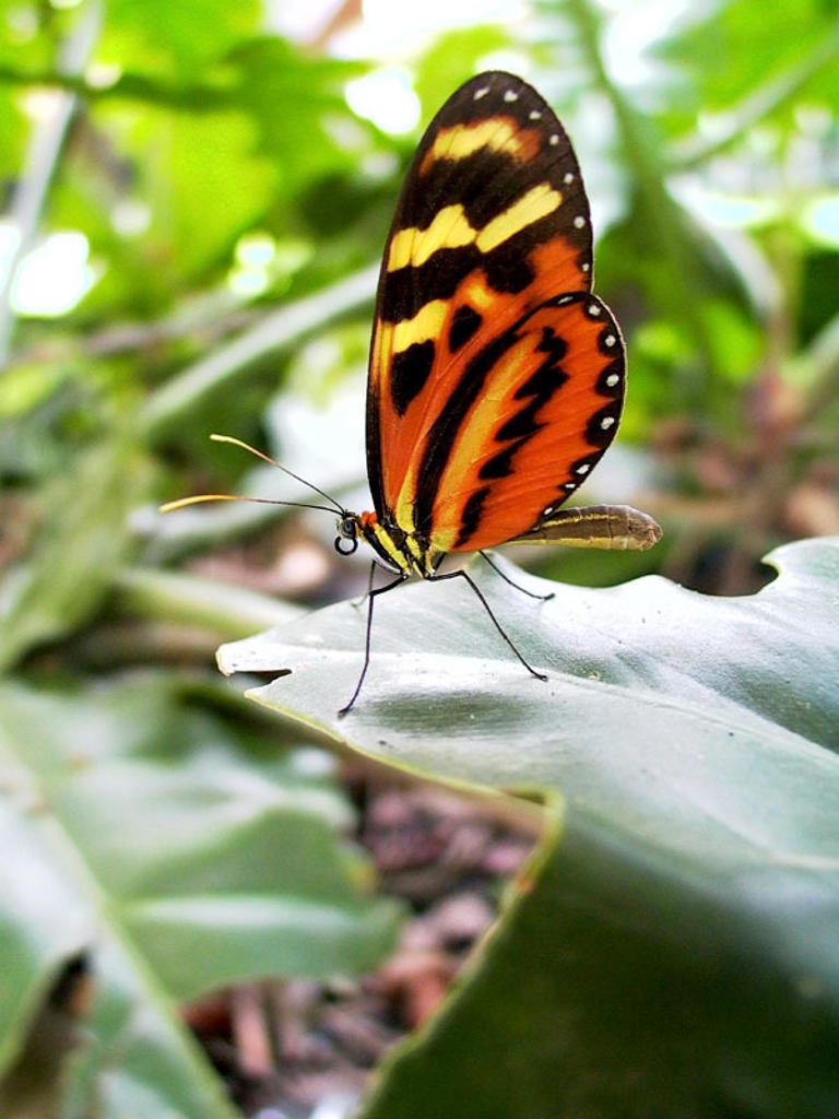 Tiger Mimic-Queen (Lycorea cleobaea) : Stock Photo