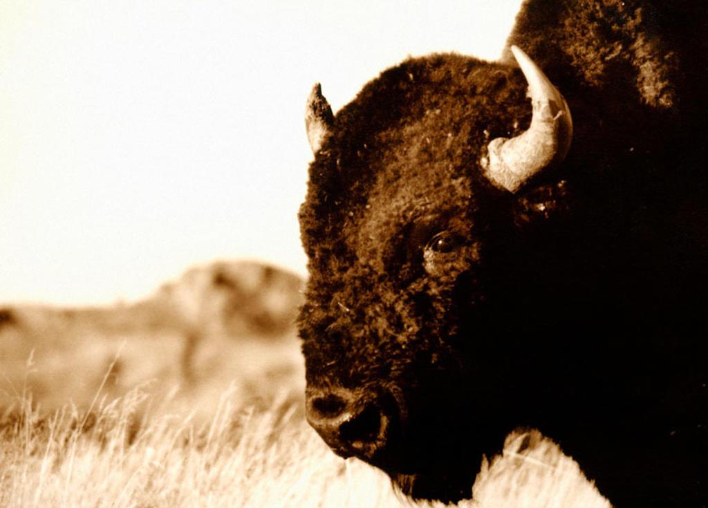 Bison (Bison bison). Wind Cave National Park. South Dakota. USA : Stock Photo