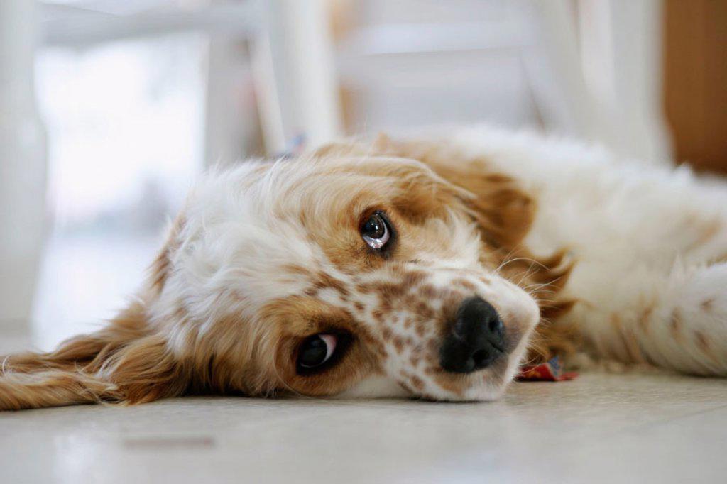 Cocker Spaniel Puppy on kitchen floor : Stock Photo