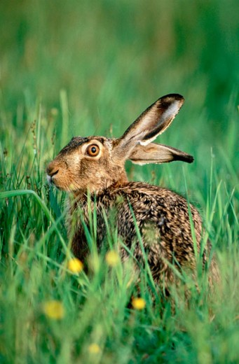 Hare (Lepus Europeaus) : Stock Photo