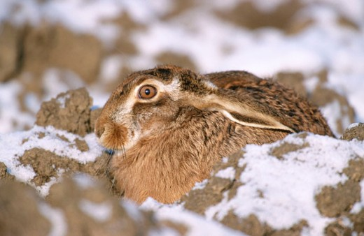 Brown or European Hare (Lepus Europeaus) : Stock Photo