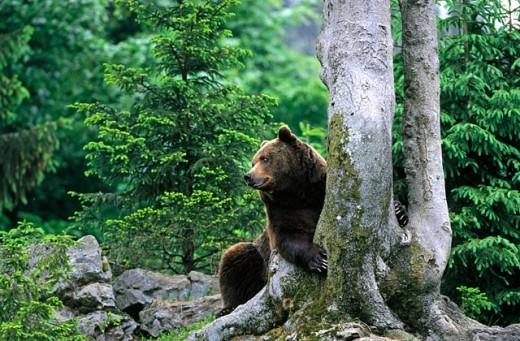 Stock Photo: 1566-0163915 Brown Bear (Ursus arctos)
