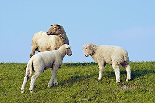 Sheeps : Stock Photo