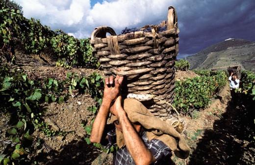 Stock Photo: 1566-0168342 Grape harvest (Porto). Douro Valley. Portugal