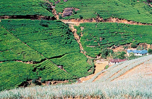 Stock Photo: 1566-0168796 Tea plantation in the Nuwara Eliya region. Sri Lanka