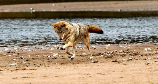 Coyote (Canis latrans) playing with captured mouse. Minnesota USA : Stock Photo