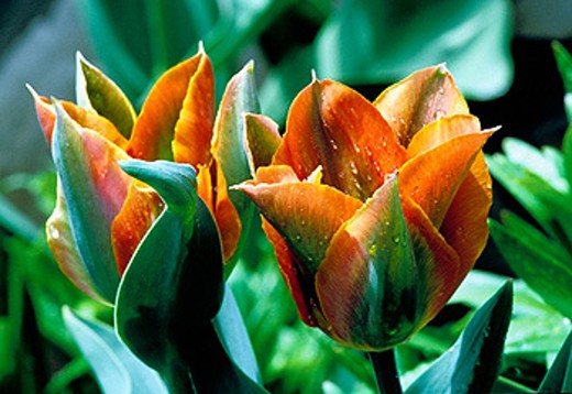Stock Photo: 1566-0170598 Parrot tulip
