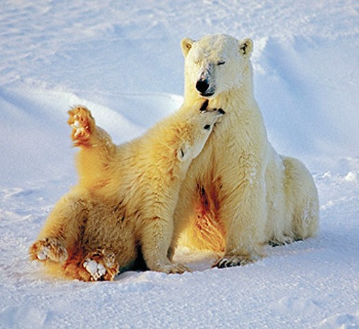 Stock Photo: 1566-0170637 Polar bear (Ursus maritimus) sow and cub playing