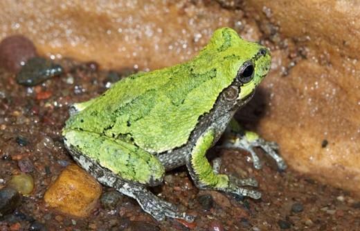 Common gray treefrog : Stock Photo