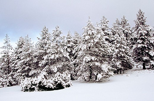 Stock Photo: 1566-0172142 Snow covered Pines (Pinus sylvestris) in Rincón de Ademuz. Comunidad Valenciana. Spain