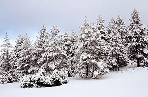 Snow covered Pines (Pinus sylvestris) in Rincón de Ademuz. Comunidad Valenciana. Spain : Stock Photo