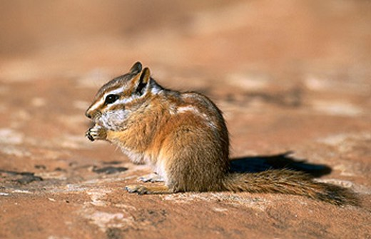 Stock Photo: 1566-0172953 Colorado Chipmunk (Tamias quadrivittatus) on red rock. Arches National Park. Utah, USA