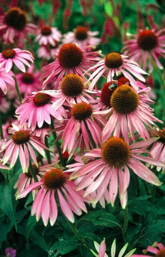 Stock Photo: 1566-0174099 Purple Coneflowers (Echinacea angustifolia(