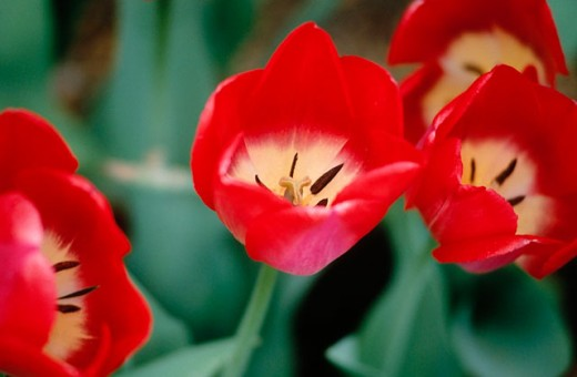 Darwin hybrid tulips (´Big Chief´) : Stock Photo