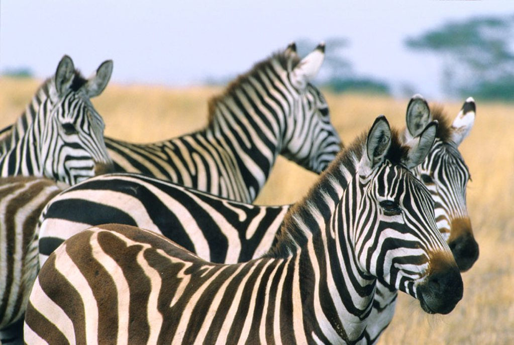 Burchell´s Zebra (Equus burchelli). Serengeti National Park, Tanzania : Stock Photo
