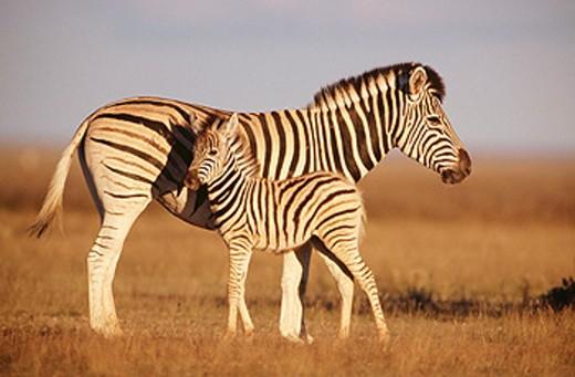 Burchell´s Zebras (Equus burchelli). Etosha National Park. Namibia : Stock Photo