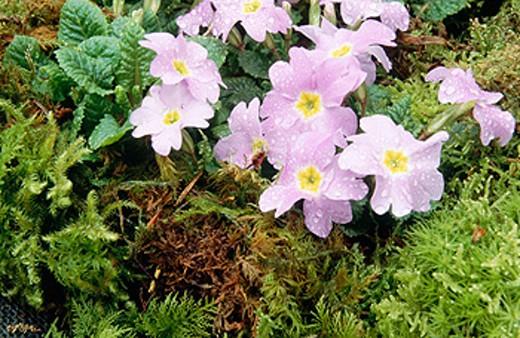Stock Photo: 1566-0176952 Primrose (Primula sp.) Groeneken´s glory