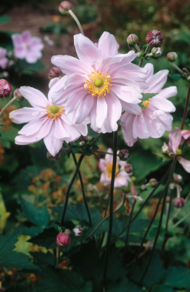 Stock Photo: 1566-0177009 Japanese anemone (Anemone X hybrida). Konigin Charlotte