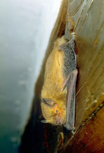 Stock Photo: 1566-0179809 Bat (Pipistrellus pipistrellus)