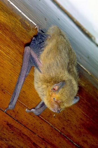 Bat (Pipistrellus pipistrellus) : Stock Photo