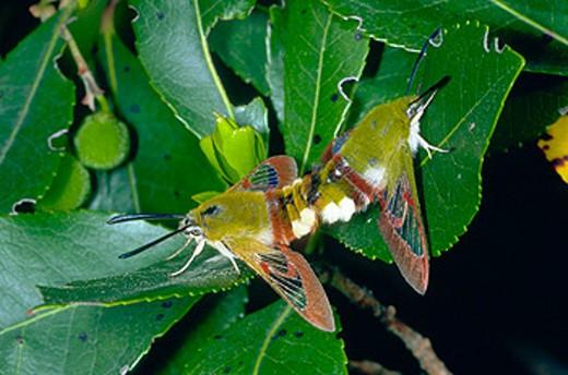 Bee Hawkmoth (Hemaris fuciformis) mating : Stock Photo