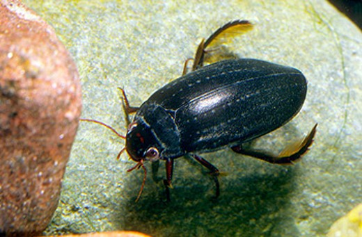 Beetle (Meladema coriacea) : Stock Photo