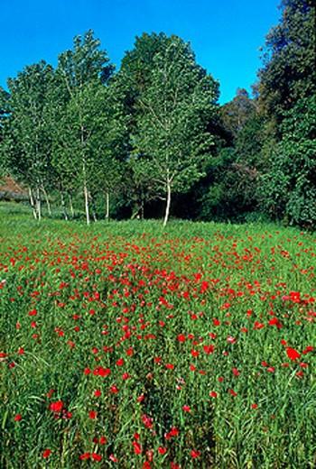 Poppies and Black Poplars (Populus nigra) : Stock Photo
