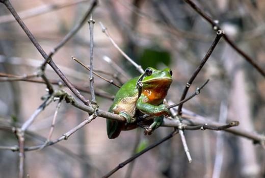 Stripeless Tree Frog (Hyla meridionalis) : Stock Photo