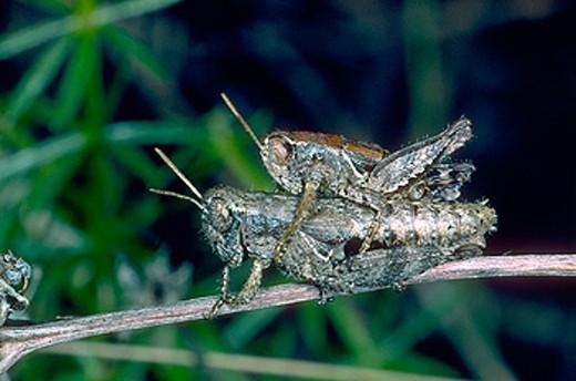 Grasshoppers (Chorthippus sp.) mating : Stock Photo