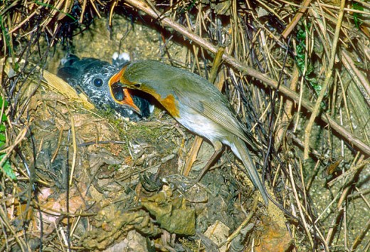 European Robin (Erithacus rubecula) feeding cuckoo chicken : Stock Photo