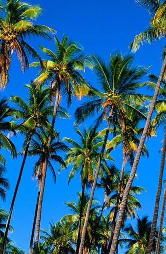 Stock Photo: 1566-0181385 Coconut Grove, Molokai, Hawaii