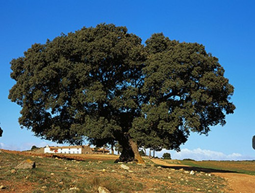 Hol Oak (Quercus ilex). Albacete province. Spain : Stock Photo
